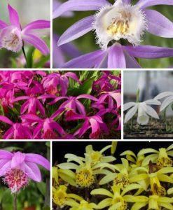 Alpha Assortment - 6 Cypripedium Bletilla Epipactis and Spiranthes Orchids