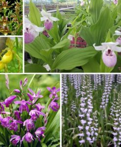 Hardy orchids