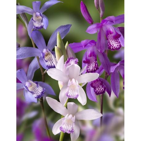 Assortment 6 Bletilla - hyacinth Orchids
