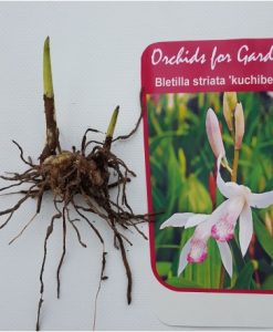 Bag of 3 bulbs - Bletilla striata kuchibeni