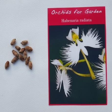 Bag of 3 bulbs - Habenaria radiata - Dove Orchid