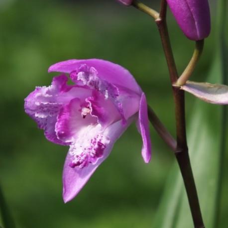 Bletilla striata Trilips