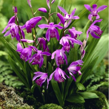 Bletilla striata purple - Yacinth Orchid