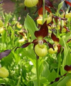Cypripedium Calceolus - Lady's Slipper