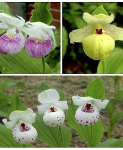 Family Pack Cypripedium Ulla Silkens