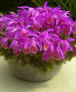 Pleione Tongariro in a pot
