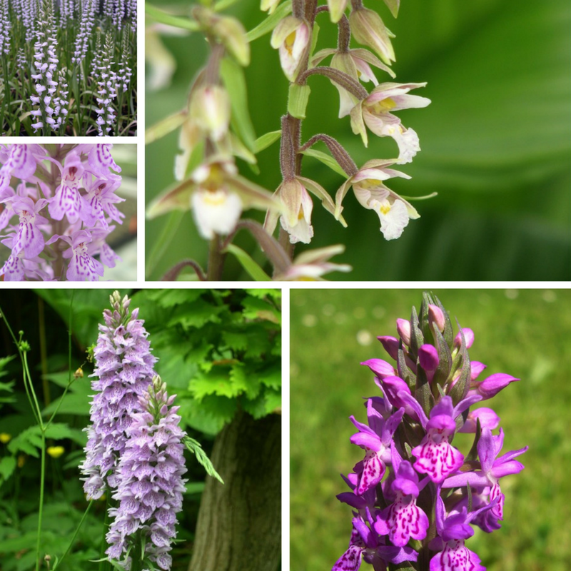 British Native Orchids For Sale Ochids Assortments At Garden Orchids