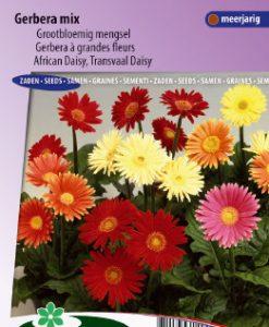 African or Transvaal daisy Australian Giants Seeds 4 Garden