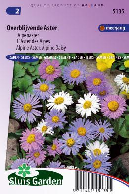 Alpine Aster of Daisy