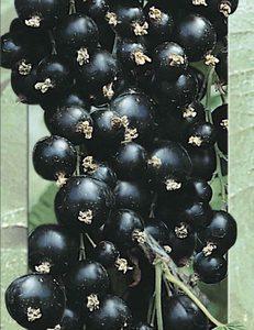 Black Berry (Black Currant) Seeds 4 Garden