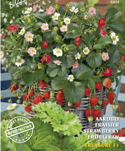Buzzy® Specialties Strawberry Treasure F1 Seeds 4 Garden