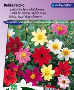 Dahlia dwarf single Piccolo Mix Seeds 4 Garden
