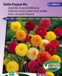 Dahlia tall double Pompon Mix Seeds 4 Garden