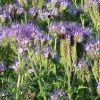 Green Manure Crop Phacelia Tanacetifolia 1KG Seeds 4 Garden