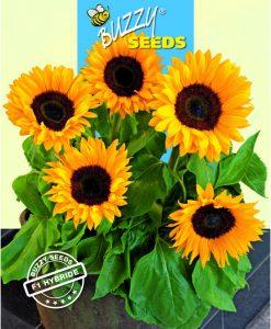 Helianthus Sunrich orange F1 Seeds 4 Garden