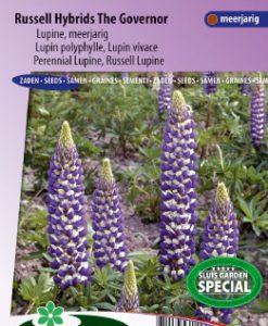 Lupin perennial