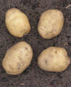 Seed-potato Actrice 1 kg Seeds 4 Garden