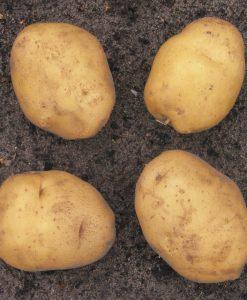Seed-potato Eigenheimer 1 kg Seeds 4 Garden