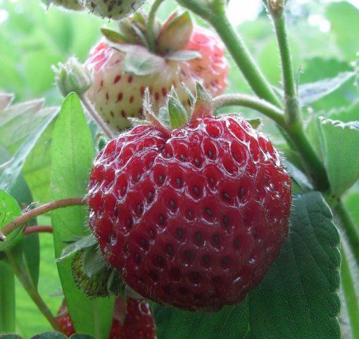 Strawberry Framberry (garden ready) Seeds 4 Garden