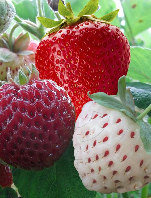Strawberry Mix (garden ready) Seeds 4 Garden