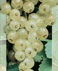 White Berry (White Currant) Seeds 4 Garden