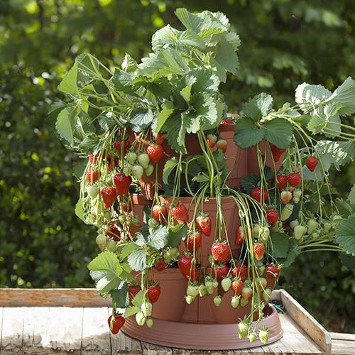 Strawberry Growin-Pods YouGarden