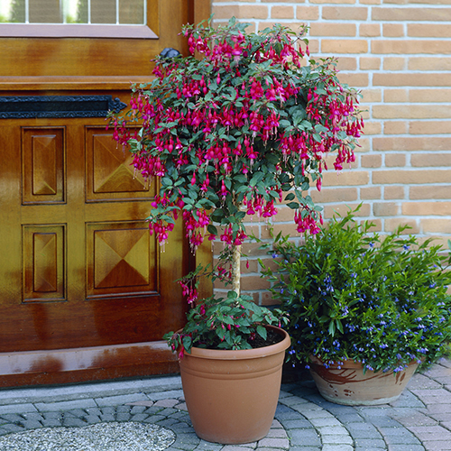 Flowering Fuchsia Tree YouGarden