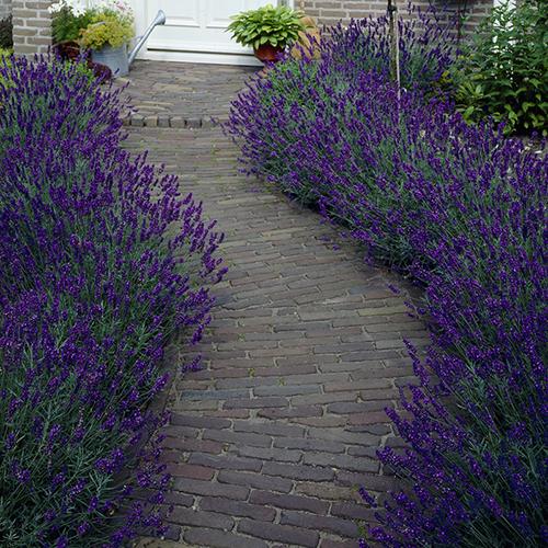 English Lavender Hidcote YouGarden
