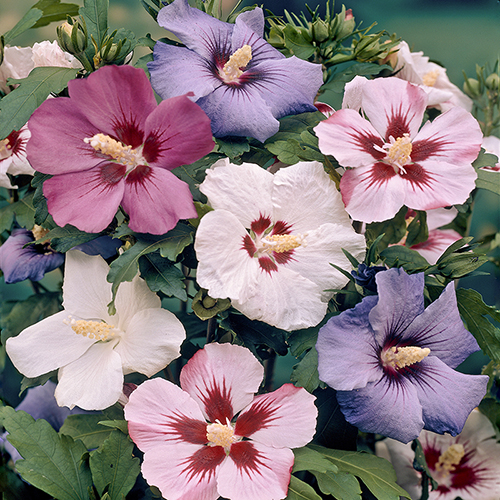 Hardy Hibiscus Syriacus Mixed YouGarden