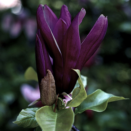 Magnolia x brooklynensis Black Beauty YouGarden