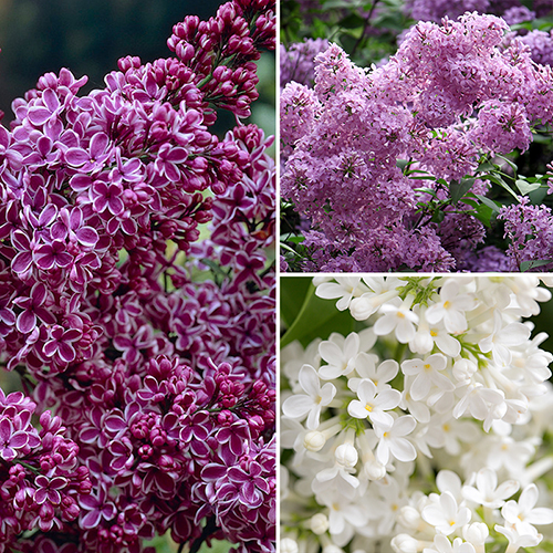 Fragrant French Lilac Collection YouGarden