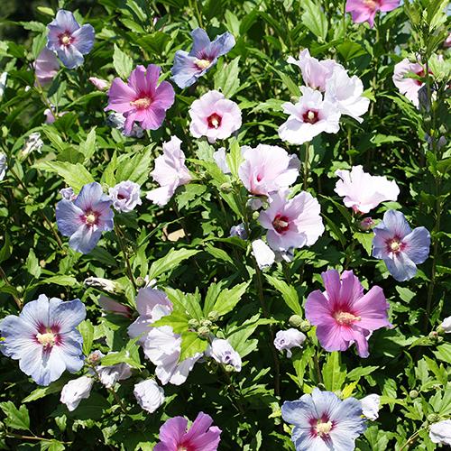 Tricolour Hibiscus YouGarden