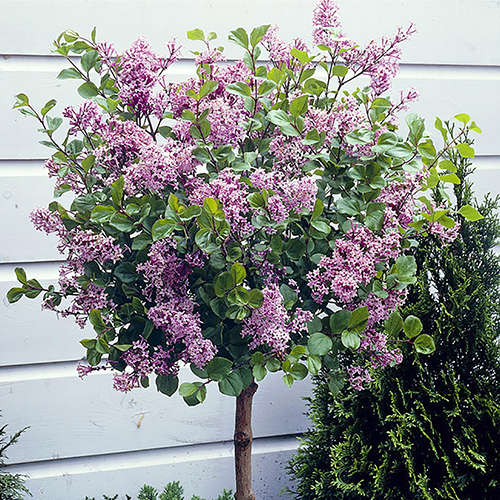 Lilac Syringa Palibin Standard YouGarden