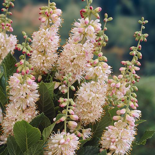 Clethra Pink Spire (Summersweet) YouGarden