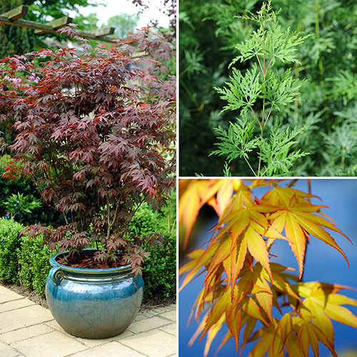 Acer palmatum Japanese Maples Set of 3 YouGarden