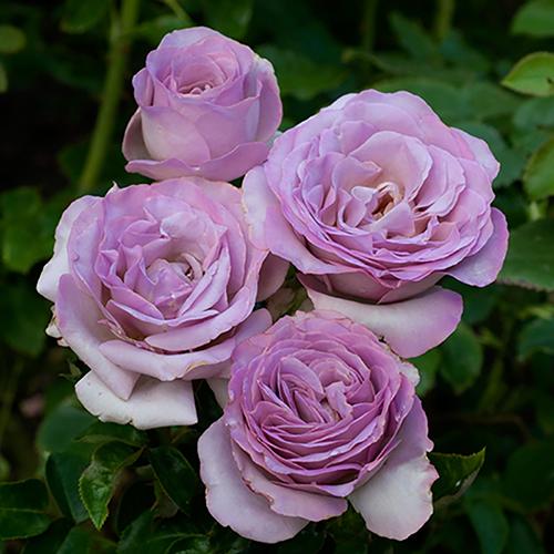 Patio Standard Rose Blue Beauty YouGarden