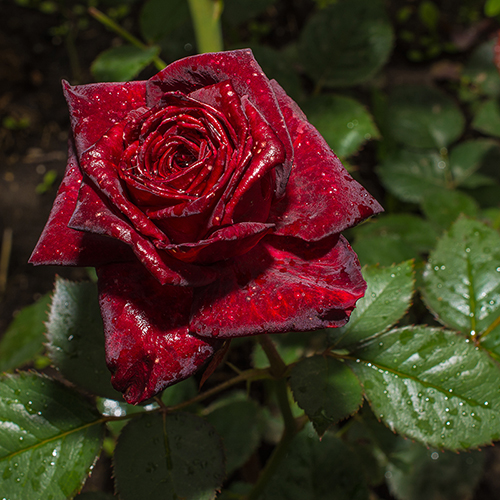 Rose Black Baccara YouGarden
