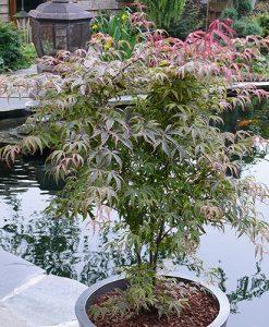 Acer palmatum 'Shirazz' 3L