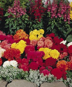 Begonia 'Non-Stop' Hanging Basket/Bedding Plants - Pack of 18 Jumbo Plugs
