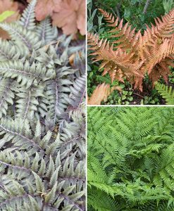 Colourful Hardy Fern Collection 3 x 9cm