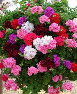 Double Flowered Rosebud Geranium Bedding & Basket Plant Pack of 12 Jumbo Plugs