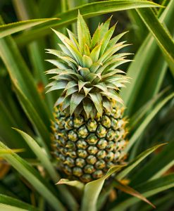 Edible Pineapple Plant Ananas comosus in a 14cm Pot Already in Fruit