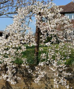 "Flowering Weeping Cherry ""Snowshowers"" Bare Root  tree 1-1.2M"