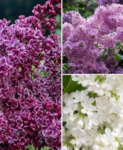 Fragrant French Lilac bushes - pack of 3 varieities