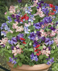 Fragrant Patio Sweet Pea Plants Pack of 12 Net Pots Perfect For Pots