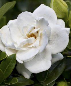 Hardy Gardenia 'Crown Jewel' plant in 9cm pot