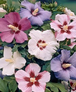 Hardy Hibiscus syriacus (Mixed colours) - pack of 5