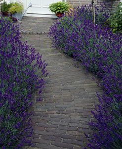 Lavender Hedging Pack - 20 tray