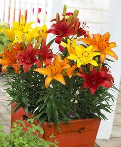 Longiflorum Asiatic LA Lily x 25 bulbs
