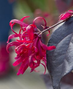 Loropetalum 'EverRed' Chinese Witch Hazel Plant 2L Potted Plant